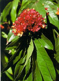 Saraca Indica Classification Essay img-1