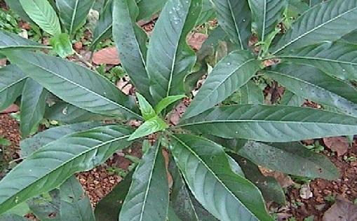 Ayurveda medicinal herb - Vasa